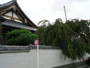 自性院 枝垂れ桜 2013 9 23.JPG