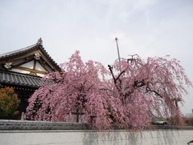 愛染寺 桜.JPG