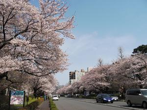国立桜並木.jpg