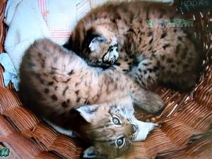山猫 3.jpg